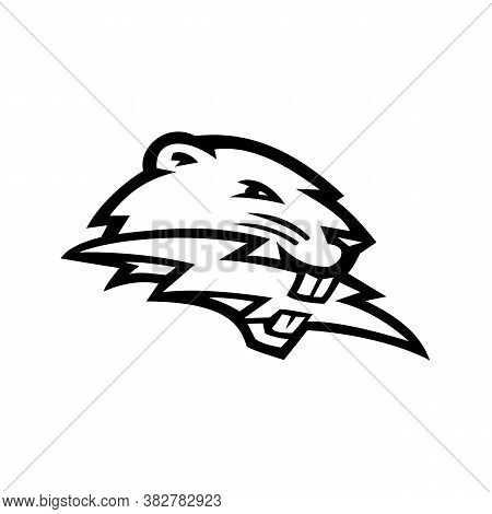 Black And White Mascot Illustration Of Head Of A North American Beaver, A Large, Primarily Nocturnal