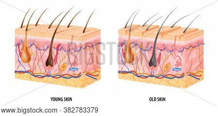 Anatomical Structure Of Young And Old Skin Realistic Isolated Vector Illustration