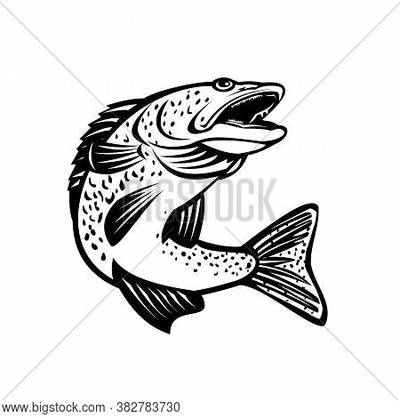 Retro Black And White Style Illustration Of A Walleye Sander Vitreus Or Yellow Pike, A Freshwater Pe