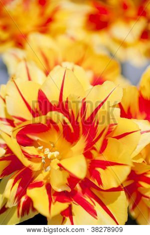 Foreground Yellow and Red Tulip