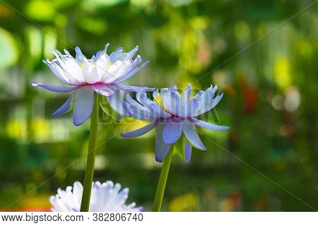 Blue Flower Of Indian Lotus Or Nelumbo Nucifera, Aquatic Plant