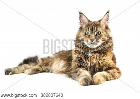 Adult Maine Coon Cat, Isolated. Cute Tortoiseshell Maine-coon Cat On White Background. Big Funny Pur