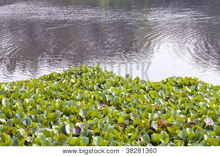 water lily on river
