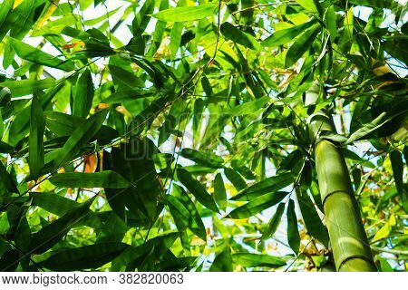 Exotic Lush Green Bamboo Trees. Japanese Bamboo Forest In Spring Seen From Below, Bambusoideae