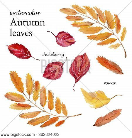Watercolor Autumn Leaves Rowan And Black-fruited Rowan