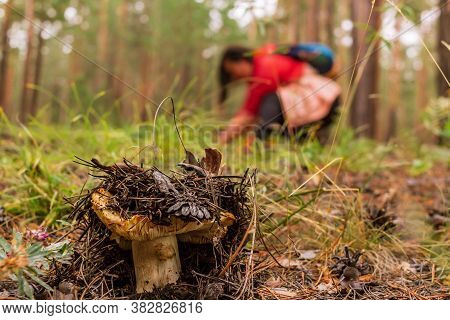 Overripe Saffron Milk Cap In The Coniferous Forest And Mushroom Picker In The Background, Selective