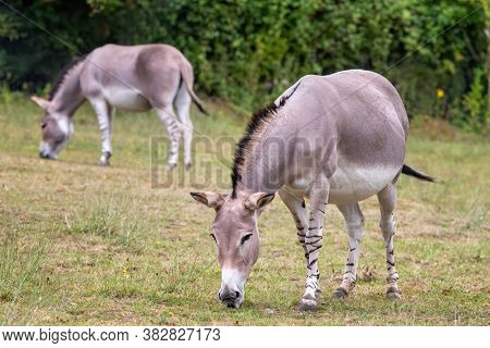 African wild donkey, Equus asinus somalicus, grazing in a wildlife park. Indigenous to East Africa and critically endangered, with less than 600 recorded in the wild.