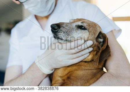 An Adult Red Dachshund Is Being Examined By A Veterinarian. A Veterinarian Checks The Teeth Of An Ol
