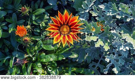 Bright Orange Gazania Flower In The Garden.