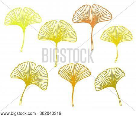 Autumn Ginkgo Or Gingko Biloba Leaves Set. Nature Botanical Vector Illustration, Herbal Medicine Gra