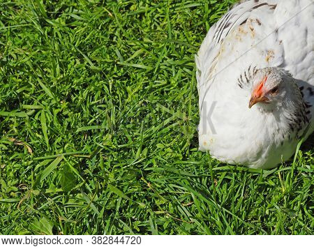 White Variegated Chicken Lies On The Green Grass. The Hen Is Basking In The Sun. Rural Scene, Henner