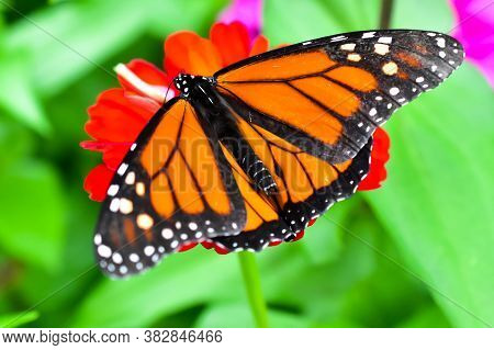 Monarch Butterfly On A Red Flower In A Garden