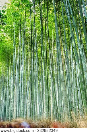 Asian Travel Destinations. Renowned Sagano Bamboo Forest In Japan