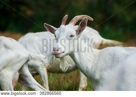 Portrait Of White Goat A Close Up