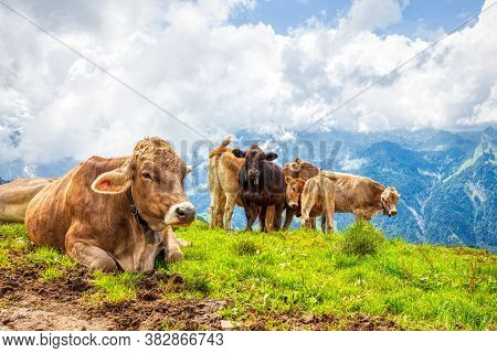 Typical Swiss Cows On An Alpine Pasture In The Swiss Alps During A Hike