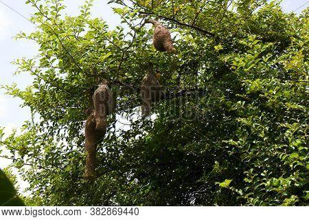 A Baya Weaver Birds Nests Isolated On Tree
