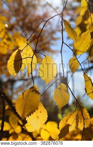 Branches Of Autumn Elm-tree With Bright Yellow Leaves Glowing In The Sunlight, Close-up