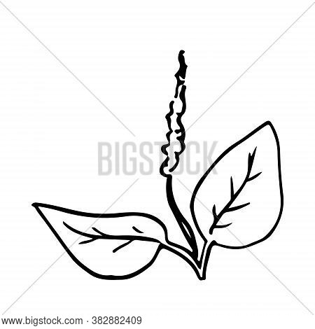 Small Bush Of Grass Hand Drawn Doodle. Sketch Plantain Leaves And Flower. Black Outline Plant For Po