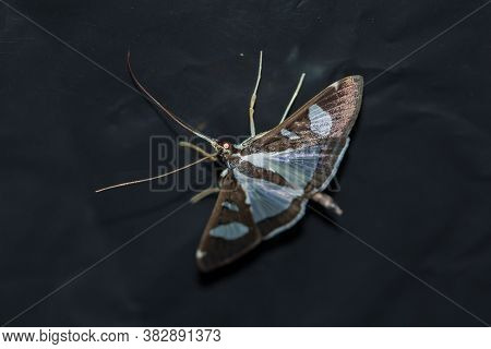 (moth) Or Moth It Is An Insect In The Rank Moths In Thailand Has Beautiful Colorful Patterns.(moth)