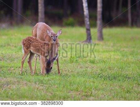Whitetail Deer Fawn Next To Its Mother That Is Grazing