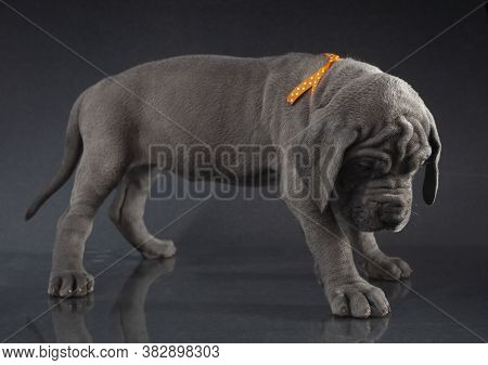 Purebred Great Dane Puppy Hanging Its Head Like It's Guilty Of Something