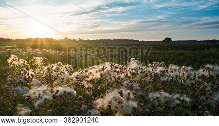 Beautiful Scenic View Of Endless Field With Cornflowers Buds Covered With White Cotton Wool. Landsca