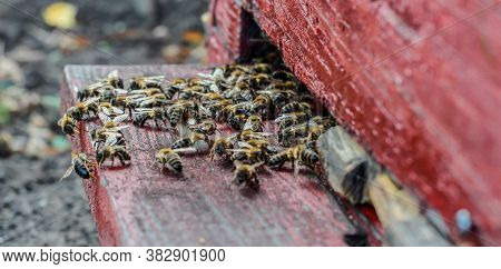 Close Up Of Bees At The Beehive Entry - Many Bees Entering Beehive