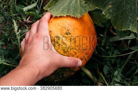 Touch The Pumpkin With One Hand. Farm For Growing Vegetables, Pumpkin For Halloween. Big Pumpkin Gro
