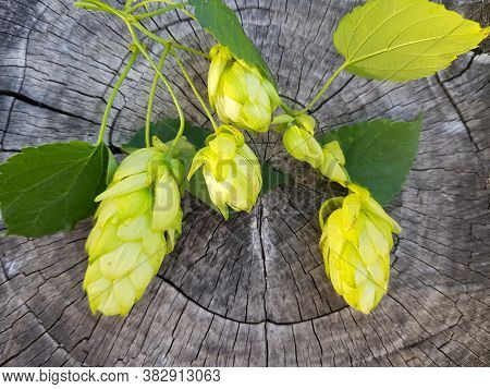 Hops Ta Texture Of Gray Wood. Green Fruits Of Hops For Beer. Blank. Green Fruits Of Hops On A Vine A