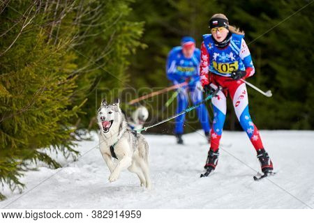Verkhoshizhemye, Russia - 03.08.2020 - Skijoring Dog Racing. Koltco Fortuny - Winter Dog Sport Compe