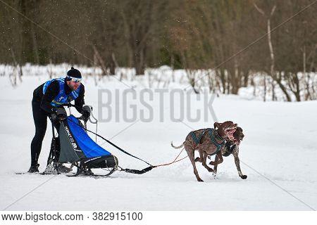 Verkhoshizhemye, Russia - 03.08.2020 - Winter Sled Dog Racing. Koltco Fortuny - Dog Sport Sled Team