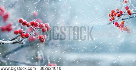Winter View With Bunches Of Red Rowan On The Sides On A Background Of Snowfall, Panorama, Copy Space