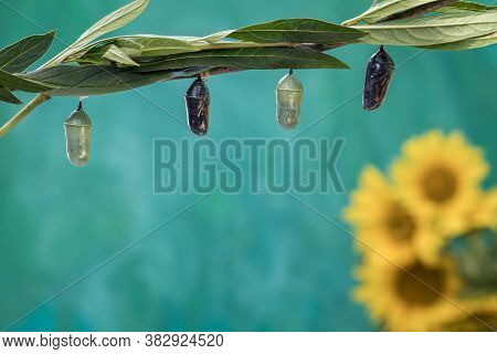 Monarch Butterfly Chrysalis, Danaus Plexippuson, Clear And Green Stage Teal Blue Background With Yel
