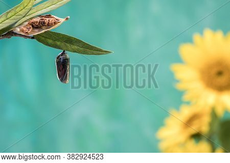 Monarch Butterfly Chrysalis, Danaus Plexippuson, Stage Teal Blue Background With Yellow Sunflowers