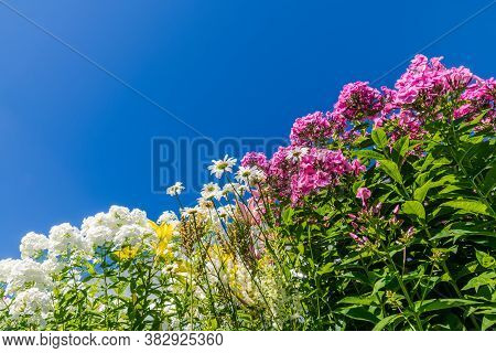 Beautiful Various Flowers In The Garden Against The Blue Sky. (phlox, Lilium, Matricaria)