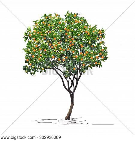 Young Tangerine Tree (citrus Reticulata L.) With Mature Fruits, Chinese New Year, Color Vector Image
