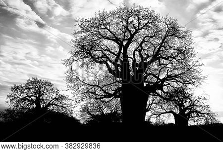 Baobab Trees In Tanzania In Black & White Silhouette Against Dramatic Cloudy Sky.