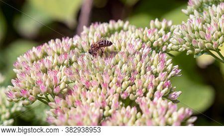 Bee On A Sedum Inflorescence In The Garden.
