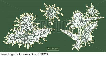 Medical Milk Thistle Plant, Line Art Botanical Illustration In A Vintage Style