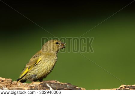The European Greenfinch (chloris Chloris) In Morning Sun. The European Green Finch Sitting On The Ol