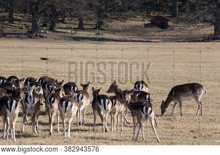 The View Of Deers Peacefully Grazing On A Field In Gripsholms Hjorthage, Sweden.