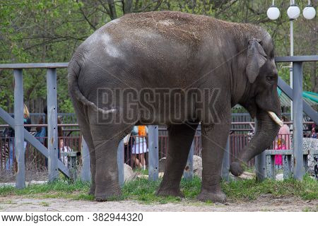 Grey Elephant At Summer Day, The Largest Mammal