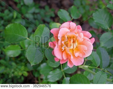 Beautiful Pink Rose In Full Bloom. Close-up Shot With Selective Focus, Shallow Dof