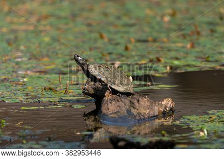 A Slider Turtle With Its Neck Stretched Out As Is Basks In The Sun On A Submerged Stump In A Pond Fi