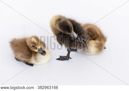 Little Brown Duckling On A White Background, Khaki Campbell.
