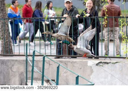 Beijing / China - April 2, 2016: A Pair Of Male And Female Mallard Ducks Flying At Beihai Lake, Beih