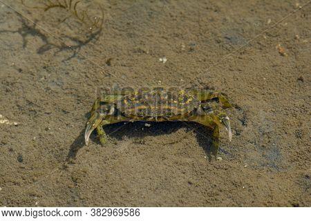 Shore Crab (carcinus Maenas) At North Sea,north Frisia,eiderstedt Peninsula,schleswig-holstein,germa