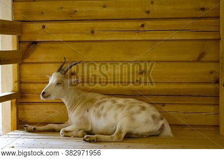 Goat On A Background Of Wooden Boards In The Sun. The Development Of Animal Husbandry And Agricultur