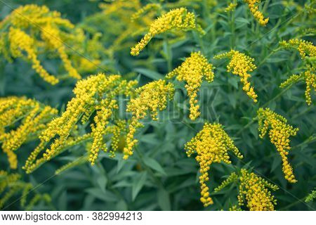 Goldenrod Flower Or Solidago Canadensis, Honey Plant, Sunset, Close-up, Selective Focus.
