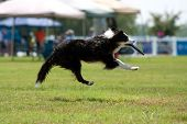 Dog Goes Airborn To Catch Frisbee In Mouth poster